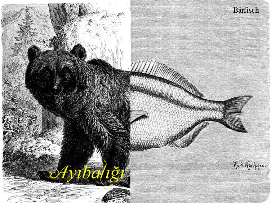 Ayıbalığı, Bärfisch, heißt die Robbe auf Türkisch.