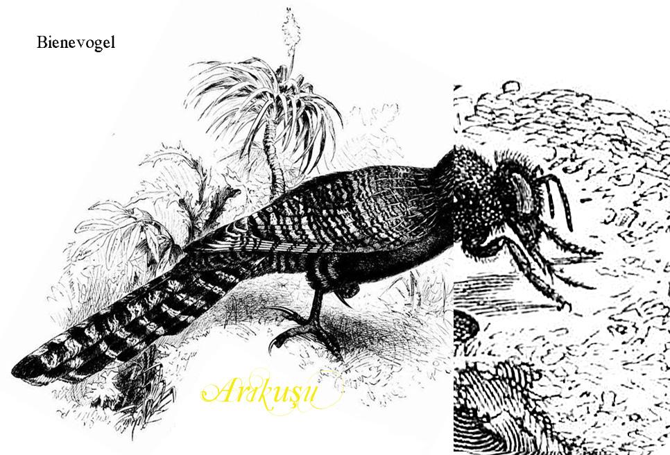 Arıkuşu, Bienevogel, heißt der Kolibri auf Türkisch.