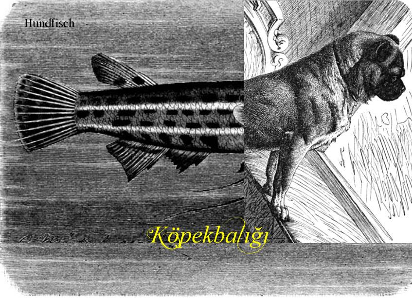 Köpekbalığı, Hundfisch, heißt der Hai auf Türkisch.