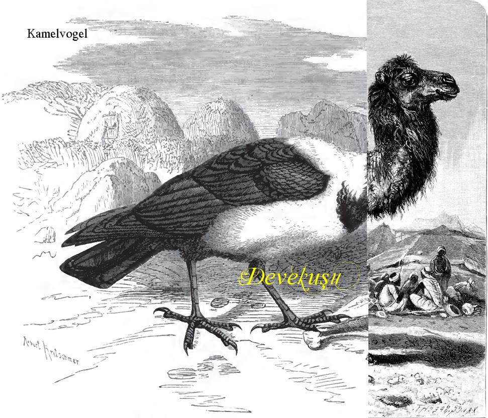 Devekuşu, Kamelvogel, heißt der Strauß auf Türkisch.