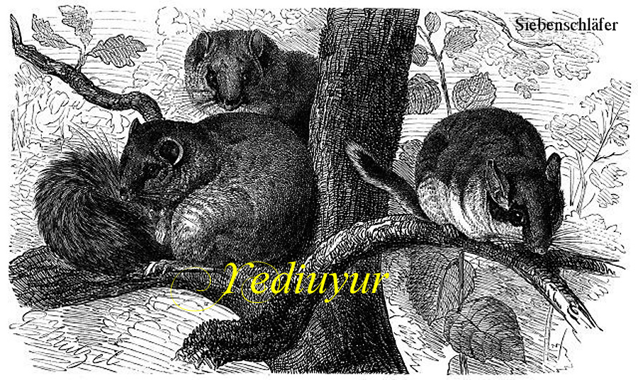 Yediuyur, sieben schlafen, heißt der Siebenschläfer auf Türkisch.