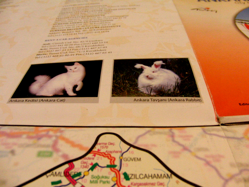 Angorakaninchen und Angorakatze in einem Stadtplan von Ankara